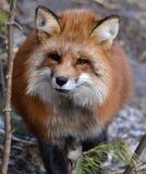 общий красный цвет лисицы стоковая фотография rf