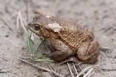 Общий крупный план жабы Стоковая Фотография RF