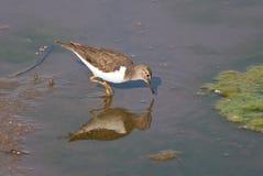 Общий кулик wading Стоковая Фотография RF