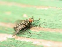 Общий макрос мухы дома (Мухи Domestica) Стоковые Изображения RF
