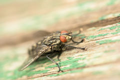 Общий макрос мухы дома (Мухи Domestica) Стоковые Фото