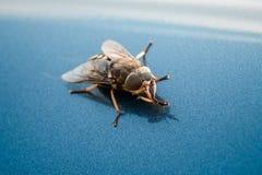 общий макрос мухы Стоковое фото RF