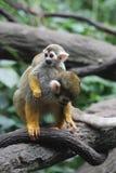 Общий младенец обезьяны белки с ним мама ` s Стоковая Фотография RF