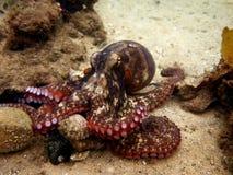 Общий осьминог Сиднея Стоковое Изображение