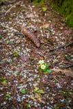 Общий первоцвет который отметит начало весны Стоковые Фото