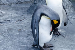 Общий пингвин Стоковая Фотография RF