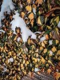 Общий плющ, винтовая линия Hedera в зиме под снегом стоковая фотография rf