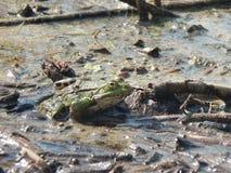 Общий портрет лягушки воды Стоковое Фото