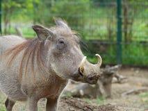 Общий портрет warthog стоковые изображения rf
