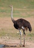 общий страус Стоковое Изображение RF