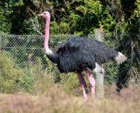 Общий страус стоковые фото