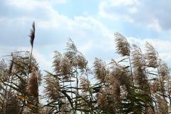 общий тростник Стоковое Изображение