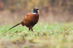 Общий фазан во время дождя Стоковая Фотография