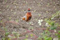 Общий фазан или фазан Кольц-шеи Стоковое Изображение