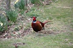 Общий фазан - мужчина Стоковое Изображение