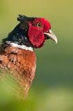 Общий фазан (colchicus фазана) Стоковые Изображения