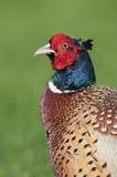 Общий фазан (colchicus фазана) Стоковое Изображение
