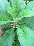 Общий шалфей, officinalis salvia Стоковое Фото