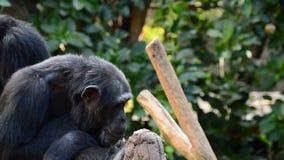 Общий шимпанзе в дереве зевая показывающ все его зубы сток-видео