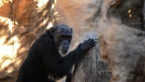 Общий шимпанзе в дереве связывая с другими обезьянами видеоматериал