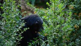 Общий шимпанзе есть листья между вегетацией - приготовьте troglodytes видеоматериал