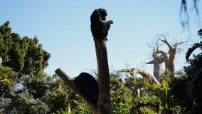 Общий шимпанзе отдыхая в дереве солнечный день акции видеоматериалы