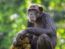 Общий шимпанзе Стоковая Фотография