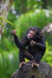 Общий шимпанзе стоковое фото rf