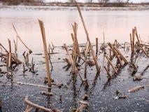 Общий Bulrush, который замерли в льде в Швеции Стоковое Изображение RF