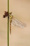 общий dragonfly darter Стоковые Изображения