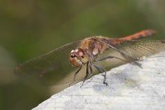 общий dragonfly darter стоковое фото rf