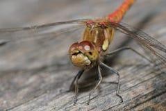 общий dragonfly darter стоковая фотография rf