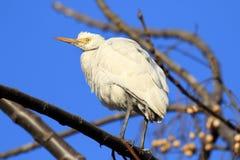 Общий egret скотин Стоковые Фотографии RF