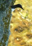 общий guillemot Стоковые Изображения