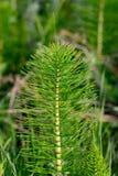 Общий Horsetail Стоковые Фото