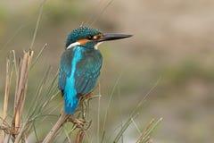 Общий Kingfisher, западная Бенгалия, Индия Стоковое Изображение RF