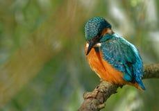 Общий Kingfisher надеясь рыб в Rriver Стоковые Фото