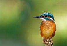 Общий Kingfisher на положении звероловства, горизонтальном Стоковое фото RF