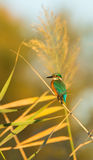 Общий Kingfisher на тростнике Стоковая Фотография