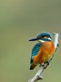 Общий Kingfisher сидя на ветви, вертикальной Стоковое фото RF