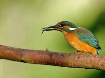 Общий Kingfisher с уловленными рыбами Стоковое Изображение
