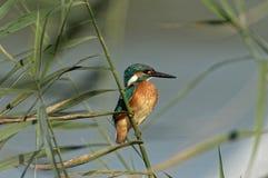 общий kingfisher Стоковое Изображение
