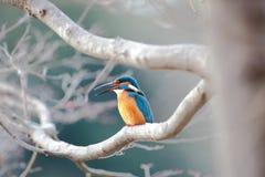 Общий kingfisher Стоковое Фото