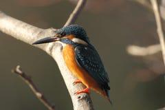 Общий kingfisher Стоковые Фотографии RF