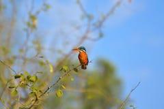 Общий Kingfisher, atthis Alcedo на ветви на заповеднике Sagareshwar, Sangli, махарастре Стоковое Изображение