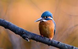 Общий Kingfisher (atthis Alcedo) Стоковое фото RF