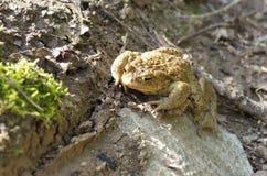 Общий lat жабы Bufo Bufo Стоковое Фото