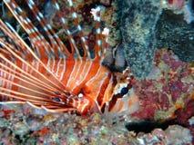 общий lionfish Мальдивы Стоковое Изображение RF