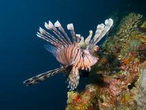 Общий Lionfish Стоковое Изображение RF