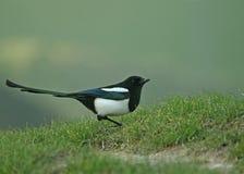 общий magpie Стоковое Изображение RF